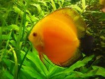 Diskus orange dans un aquarium Photographie stock