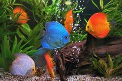 Diskus Symphysodon, mång--färgade cichlids i akvariet, sötvattensfiskinfödingen till den Amazon River handfatet Royaltyfria Bilder