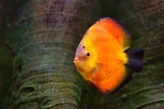 Diskus Symphysodon, röd cichlid, sötvattensfiskinfödingen till den Amazon River handfatet Arkivbilder