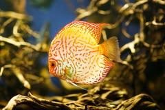Diskus Symphysodon spp , sötvattensfiskinföding till Amazonet River Royaltyfria Bilder