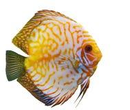 Diskus tropicale del pesce Fotografie Stock