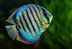 Diskus tropisk dekorativ fisk Arkivbild