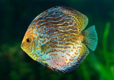 Diskus tropisk dekorativ fisk Arkivfoton