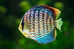Diskus tropisk dekorativ fisk Fotografering för Bildbyråer