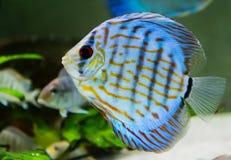 Diskusfische im Aquarium Stockfoto