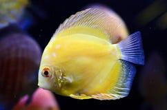 Diskusfisk, gul Symphysodon diskus. Royaltyfri Bild