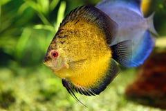 Diskusfisk i akvariet Royaltyfria Bilder