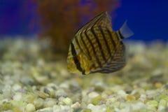 Diskusfisk i akvariet Diskusen är fisken från släktet Symp arkivbild