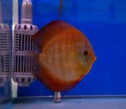 Diskusfisk i en blå bakgrundsbehållare Arkivbilder