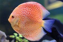 Diskusfisk, orange Symphysodon diskus. Arkivfoto