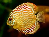 Diskusfisk (Symphysodon) Royaltyfria Bilder