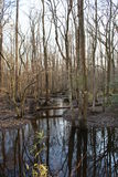 Dismal Swamp. Winter in the Dismal Swamp royalty free stock image