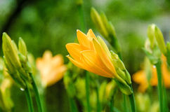 Dismissed buds of yellow lilies. Yellow lilies before the house in a garden Royalty Free Stock Image