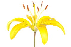 The dismissed flower of a lily Stock Image