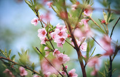 Dismissed pink flowers of a blossoming peach Royalty Free Stock Images