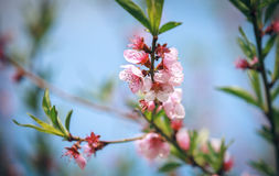 Dismissed pink flowers of a blossoming peach Stock Images