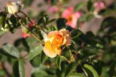 The dismissed rose bud. Stock Image