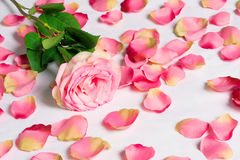 The dismissed rose with the scattered petals. The rose with the scattered petals Royalty Free Stock Photo