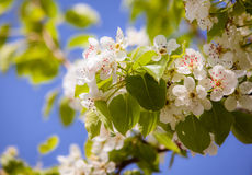 Dismissed white flowers of a blossoming apple-tree Royalty Free Stock Images