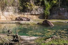 Disney's Animal Kingdom. Hippos - Kilimanjaro Safaris - Orlando/FL - USA Royalty Free Stock Photos