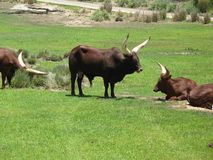Disney's Animal Kingdom Ox. Picture of an Ox at Disney's Animal Kingdom Stock Images