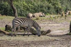 Disney's Animal Kingdom. Zebra - Kilimanjaro Safaris - Orlando/FL - USA Stock Photos