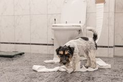 Disobedient dogs are making a mess in the apartment. Little destroyer Jack Russell Terrier. Naughty dogs are making a mess in the apartment. Little destroyer stock photos
