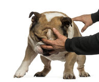 Disobedient English Bulldog Royalty Free Stock Image