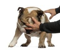 Disobedient English Bulldog Royalty Free Stock Image