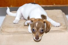 Mischievous, Disobedient Puppy In Trouble. A disobedient puppy with a mischievous look Stock Photos
