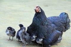In disordine, la mia gallina nera! Fotografia Stock Libera da Diritti