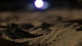 Disorientated молодые hatchlings черепахи hawksbill теперь светами городка bristols стоковая фотография rf