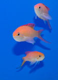 Dispar Anthias tercet zdjęcia stock