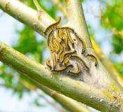 Dispar Lymantria royalty-vrije stock fotografie