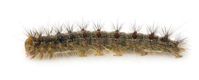dispar zigensk lymantriamal för caterpillar royaltyfri fotografi