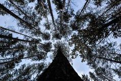 Disparado das árvores altas que quadro o céu no meio Partes superiores dos pinheiros verticais no backdround do céu azul Foto de Stock Royalty Free