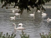 Disparado de um grupo de cisnes imagem de stock royalty free