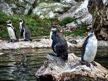 Disparado de um grupo de pinguins fotos de stock royalty free