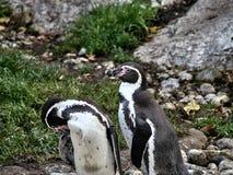 Disparado de um grupo de pinguins fotos de stock