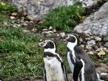 Disparado de um grupo de pinguins imagem de stock royalty free
