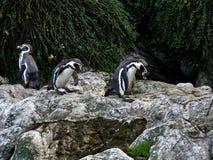 Disparado de um grupo de pinguins imagens de stock royalty free
