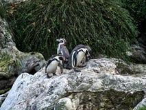 Disparado de um grupo de pinguins imagem de stock