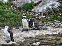 Disparado de um grupo de pinguins foto de stock