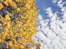 Disparado de uma árvore branca das folhas no parque e no céu acima foto de stock royalty free