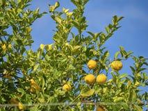 Disparado de uma árvore de limão em um dia ensolarado imagem de stock