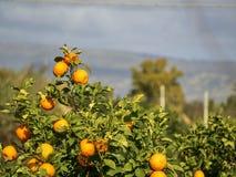 Disparado de uma árvore de tangerina da árvore de mandarino foto de stock royalty free