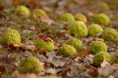 Dispersão de laranjas de Osage através de uma cama das folhas caídas imagem de stock royalty free