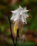 Dispersión de la vaina de la semilla del Milkweed imagenes de archivo