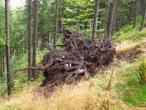 Displaced tree. Roots of a displaced big spruce tree in the forest Stock Images