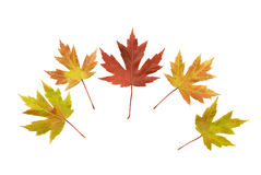 Display Of Autumn Leaves Isolated On White Royalty Free Stock Photos